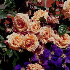 (Rosen Tantau 1999) Beautiful large flowered climbing nostalgic rose; disease resistant; rich sweet-spice scent; can be grown as climbing or shrub rose, suitable for planting to pillars.