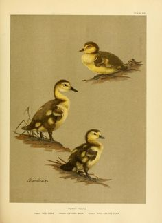 v. 3 (1925) - A natural history of the ducks / - Biodiversity Heritage Library (Allen Brooks)
