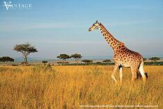 Masai Mara Safari Best Time To Go Masai Mara Safari Best Time To Go. Which is the Best Safari in Africa? Some people will answer that Kenya is one of the best Safari in Africa. Masai Mara Safari Be… Fun Facts About Giraffes, Giraffe Facts, In Dubai, African Animals, African Safari, Delta De L'okavango, Nature Sauvage, Wildlife Safari, Save Wildlife