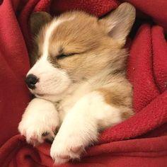"Learn more information on ""corgi puppies:. Have a look at our internet site. Corgi Funny, Cute Corgi, Cute Puppies, Dogs And Puppies, Corgi Puppies, Baby Corgi, Corgi Mix, Pet Dogs, Dog Cat"