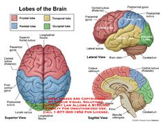 amicus,anatomy,lobe,brain,frontal,parietal,temporal,occipital,fissure,rolando,surface,part,sections