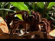 İşte Dünyanın En Büyük Örümceği