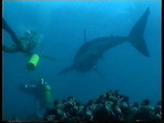 Free Diving with Great White Sharks Filmed for the First time - YouTube