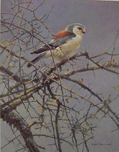 Artist/Naturalist ROBERT BATEMAN (Canadian: 1930) | Painting... Pygmy Falcon Sappi Portfolio
