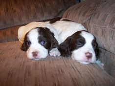 English Springer Spaniel pups.   What sweeties!