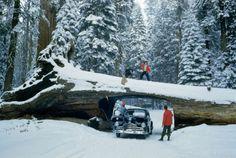 Snowy Sequoia's, California