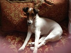 Smooth fox terrier 'Holly'