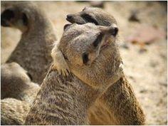 Meerkat Friends =D