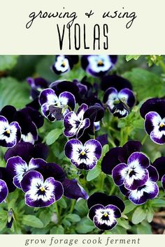 Violas and pansies are beautiful edible flowers that are easy to grow and have multiple uses! Learn how to grow these edible flowers, how to use them, and get the easy recipe for viola bath salt. #edibleflowers #flowers