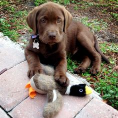 Bama the Labrador Retriever