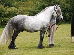 fell pony stallion | Murthwaite Tikka on his way to winning Best Pony class at a local show ...