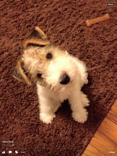 Wire fox terrier puppy head tilt...Love!!!