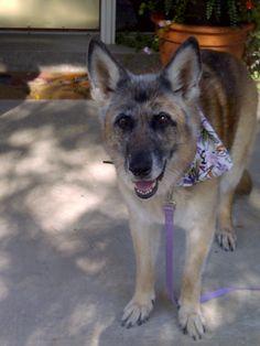 """Cozma wearing """"Flower Frenzy"""" bandana www.caninelove.ca"""