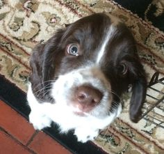 """Awesome """"spaniel puppies"""" information is readily available on our internet site. Check it out and you will not be sorry you did. Puppies And Kitties, Cute Puppies, Cute Dogs, Doggies, Beautiful Dogs, Animals Beautiful, Puppy List, Baby Animals, Cute Animals"""