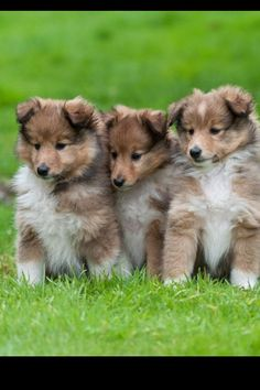 The Shetland Sheepdog originated in the and its ancestors were from Scotland, which worked as herding dogs. Dog Pictures, Animal Pictures, Cute Puppies, Dogs And Puppies, Shetland Sheepdog Puppies, Rough Collie, Sheltie, Beautiful Dogs, Cute Baby Animals