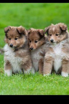 Shetland sheepdog <3  My pooches