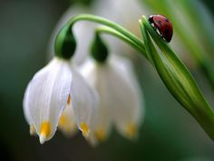 Snowdrop Flower.. Symbolizes HOPE.. Therefore.. I KNOW what my tattoo will be.. Snowdrop flowers for HOPE, with a ladybug for LUCK and a butterfly with a blue cause ribbon for Juvenile Diabetes.. With Jetty's name on it :)