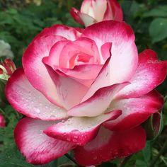 Die 379 Besten Bilder Von Rosen In 2019 Beautiful Flowers