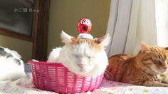 のせ猫 x だるま daruma