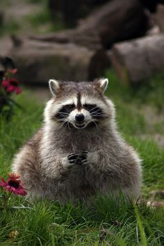 Racoon is happy with his calculating plan!  He is a so happy with himself period.!  :)