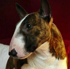 beautiful brindle and white English Bull Terrier