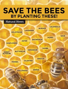 Save the bees by planting these at your backyard. Protecting the honey bee is vital for our planet. Spread the message. Bee Friendly Plants, Bee Friendly Flowers, Eco Friendly, Backyard Beekeeping, Natural News, Save The Bees, How To Keep Bees, How Bees Make Honey, Zinnias