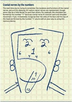 Cranial nerves by the numbers.clever way to remember which cranial nerve controls what! This would have been helpful when I was in school! Nursing Notes, Nursing Tips, Ob Nursing, Pa School, Medical School, Optometry School, School Tips, Athletic Training, Anatomy And Physiology