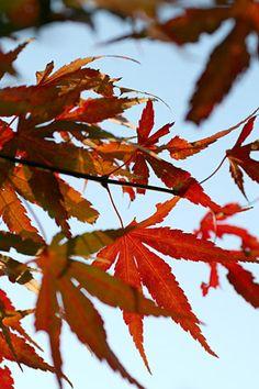 Acer palmutum