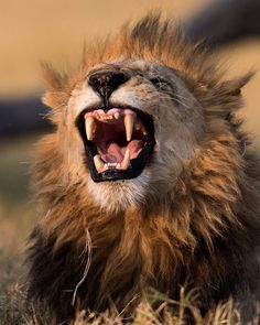 A lion flashes his teeth moments after waking up at the Moremi Game Reserve in Botswana