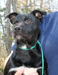 Lennox 17438 is an adoptable Black Labrador Retriever Dog ...