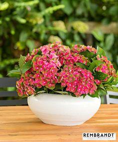 Buy ornamental shrubs now Hydrangea Rembrandt® 'Rosso Glory' Hydrangea Macrophylla, Hortensia Hydrangea, Hydrangeas, Rembrandt, Butterfly Bush, Types Of Flowers, Begonia, Clematis, Shrubs
