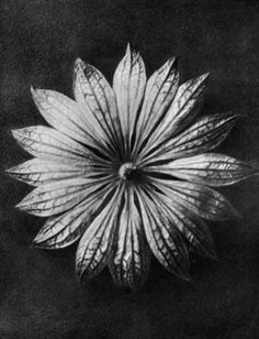 Karl Bloßfeldt: Urformen der Kunst – Wundergarten der Natur  Karl Blossfeldt (1865-1932) was a German photographer celebrated by the Surrealists and early modernists for his pioneering close-up images of plants in black and white.