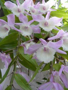 Die erste Blüte meines Dendrobium pierrardii <3