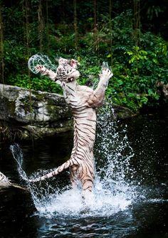 Ese agua estaba fría... | #Tigre #Animales