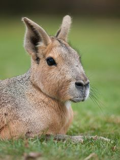 Mara - Dolichotis sp. The Maras or Patagonian hares, belonging...