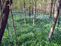 With the unseasonably warm winter,  wildflowers are blooming 3-4 weeks ahead of a typical year.