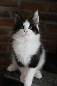 Black and White Harlequin Maine Coon Pretty Cats, Beautiful Cats, Animals Beautiful, Cute Animals, Pretty Kitty, Baby Animals, Funny Animals, Cute Cats And Kittens, Cool Cats