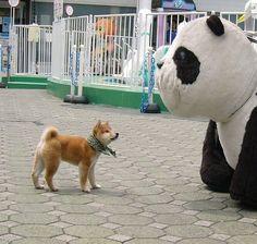 【和風総本家】歴代豆助(豆柴)画像【テレ東】 : [犬]豆柴の写真が可愛すぎる(柴犬・子犬・豆助) - NAVER まとめ