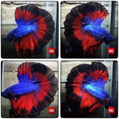 !!!...BLUE RED WARRIORS (2742)..!!!