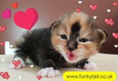 Bobtail Cat, Cattery, Fox, Cats, Animals, Gatos, Animales, Animaux, Animal