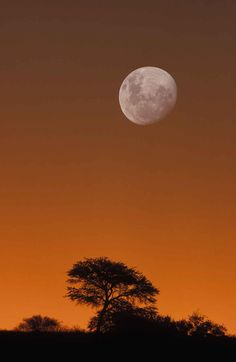 Kalahari Scene, Moon and camelthorn tree at dusk, Kgalagadi Transfrontier Park, South Africa