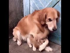 This Dog Father Is Very Protective Of His Puppy Daughter! ❤️ ❤️❤️