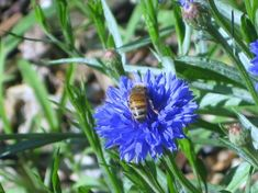 Can You Help the Honey Bees?  YOU'VE PROBABLY ALREADY HEARD that bee populations are dwindling. And that's bad news, because these buzzing insects are responsible for pollinating at least 1/3 of our nation's crops. Fortunately there are three things we gardeners can do to help local populations survive: