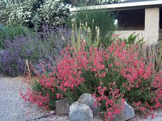 2 kinds of salvias - drought tolerant