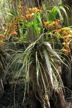 Big Cypress National Preserve - native orchid
