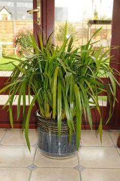 Cymbidium   Cymbidium Care   How to Care for your Cymbidium Orchids