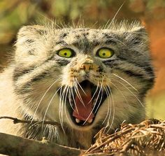 A Pallas cat snarls as  photographer Roy McPeak takes its photo at the Highland Wildlife Centre, Kingussie, in the Highlands of Scotland.  The Pallas Cat is a wild cat, about the size of a domestic cat, found mainly in the central Asian steppe grassland regions of Mongolia, China and the Tibetan Plateau.
