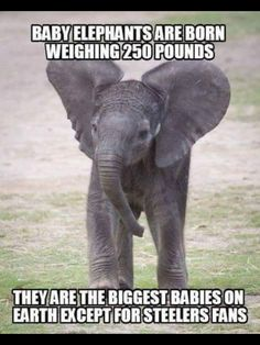Baby elephants are born weighing 250 lbs. They are the biggest babies on earth e. - Baby elephants are born weighing 250 lbs. They are the biggest babies on earth except for Steelers - Nfl Jokes, Funny Football Memes, Funny Sports Memes, Basketball Funny, Sports Humor, Stupid Funny Memes, Football Humor, Packers Football, Football Art