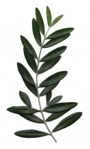 Olive branch, symbol of peace and love. Add some in you flowers.