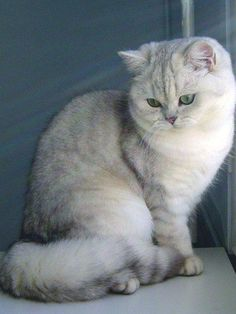 Silver shaded british shorthair by Les Chroniques de Gaël.